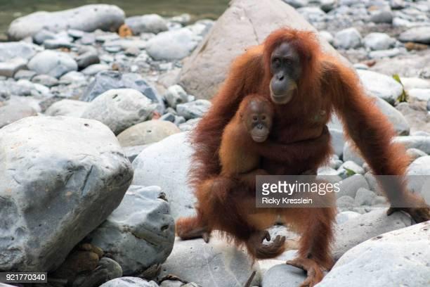 Young Orangutan Clings To Mother
