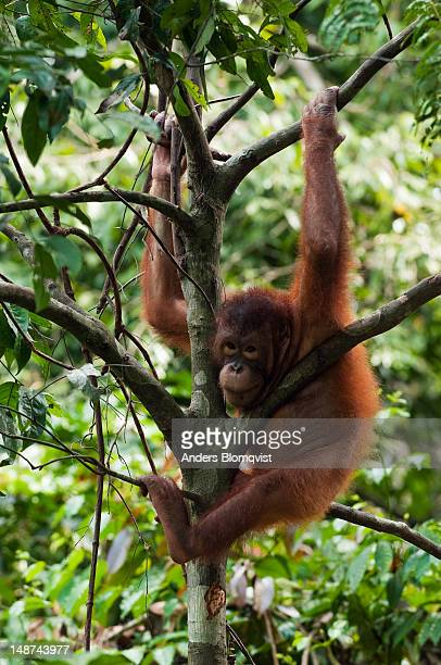 Young orangutan (Pongo pygmaeus) hanging out in tree at Sepilok Orangutan Rehabilitation Centre.