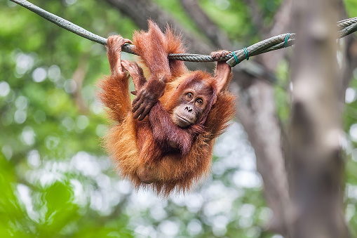 Young Orangutan swinging on a rope 981458920