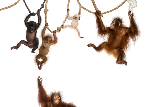 Young Orangutan, young Pileated Gibbon and young Bonobo hanging on ropes against white background 824261292