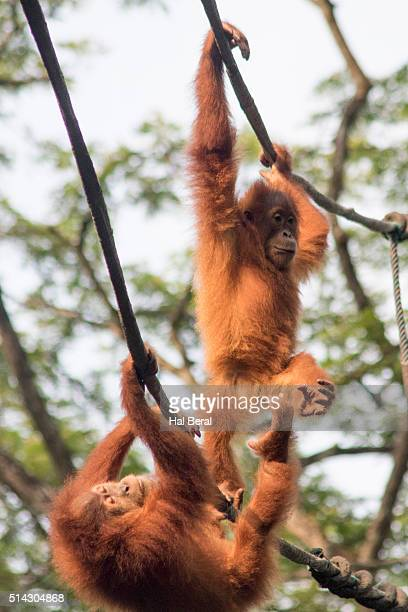 Young Orangutans swing through the trees