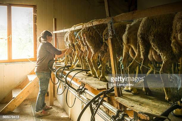 Young organic farmer milking ewes