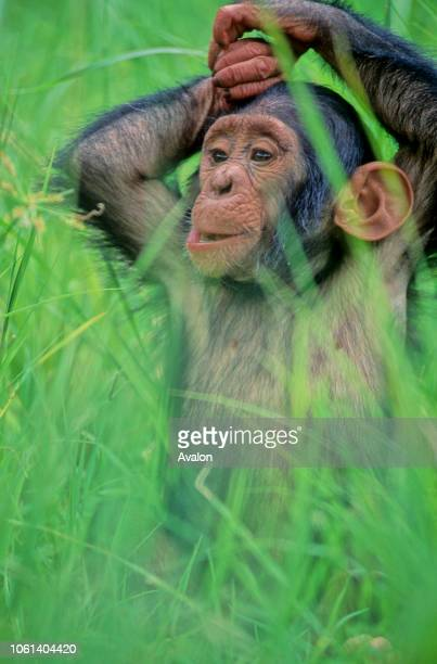 Young orphaned Chimpanzee ready to play in high grass at sanctuary in Zambia Date 250608