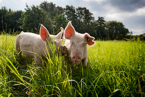 Young Outdoor Raised Organic Pigs 902847778
