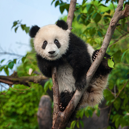 Young panda bear in tree 1060486568
