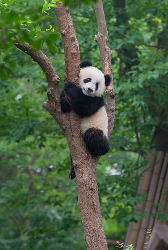 Young panda bear in tree 1061140246
