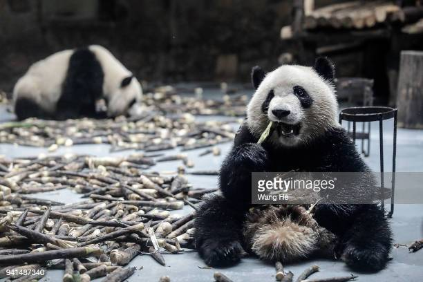 A young panda eats bamboo shoots at the Chengdu Giant Panda Breeding Research Base on April 3 2018 in Chengdu Sichuan Province China First built in...