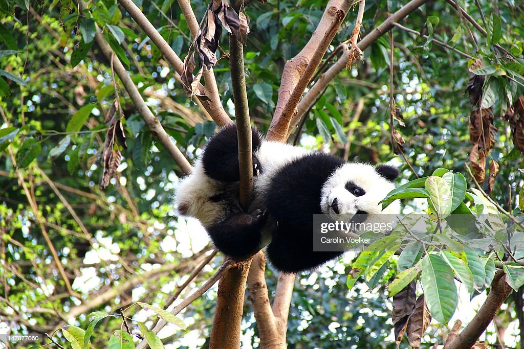 Young panda resting on branch in Chengdu, China : Stock Photo