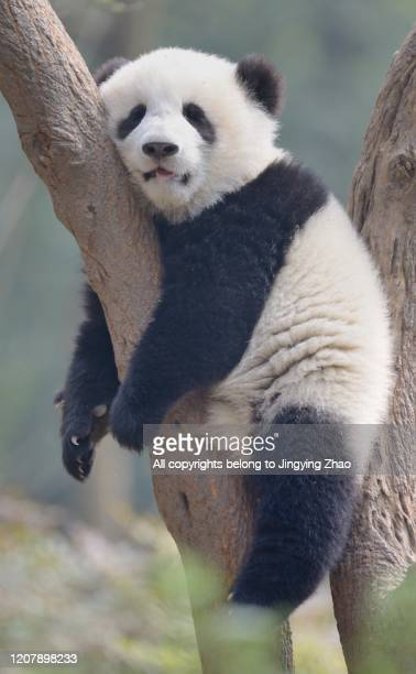 a young panda sleeps on the branch of a tree - giant panda stock pictures, royalty-free photos & images