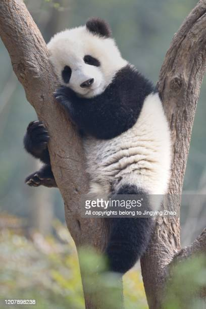 a young panda sleeps on the branch of a tree - panda animal stock pictures, royalty-free photos & images