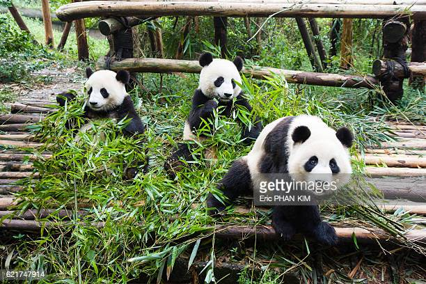 Young pandas eating bamboo, ChengDu, SiChuan, China