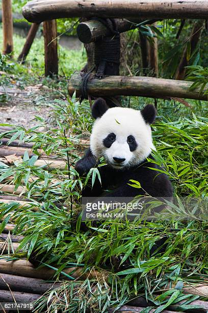 Young pandas eating bamboo, ChengDu, SiChuan, China
