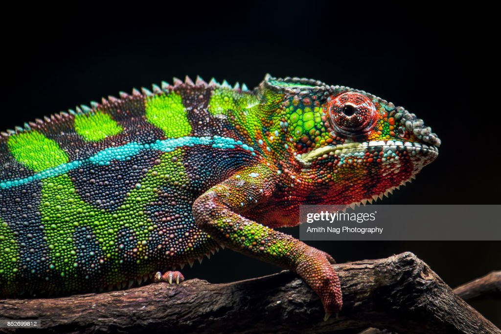 A young panther chameleon : Stock Photo