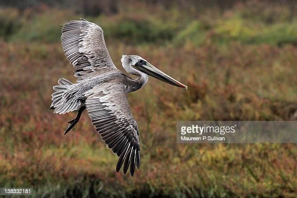 Young Pelican in Fflight