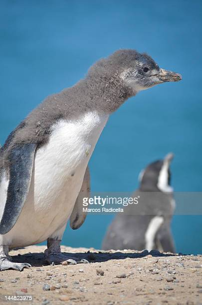 young penguin in patagonia - radicella photos et images de collection