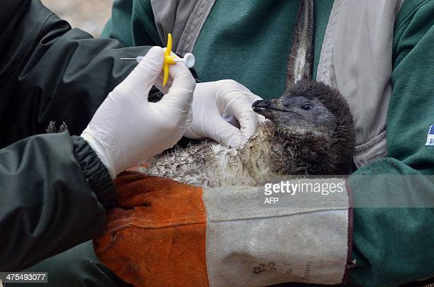 A young penguin receives an ID chip in the zoo of Szeged Hungary near the Serbian border on February 27 2014 AFP PHOTO / CSABA SEGESVARI
