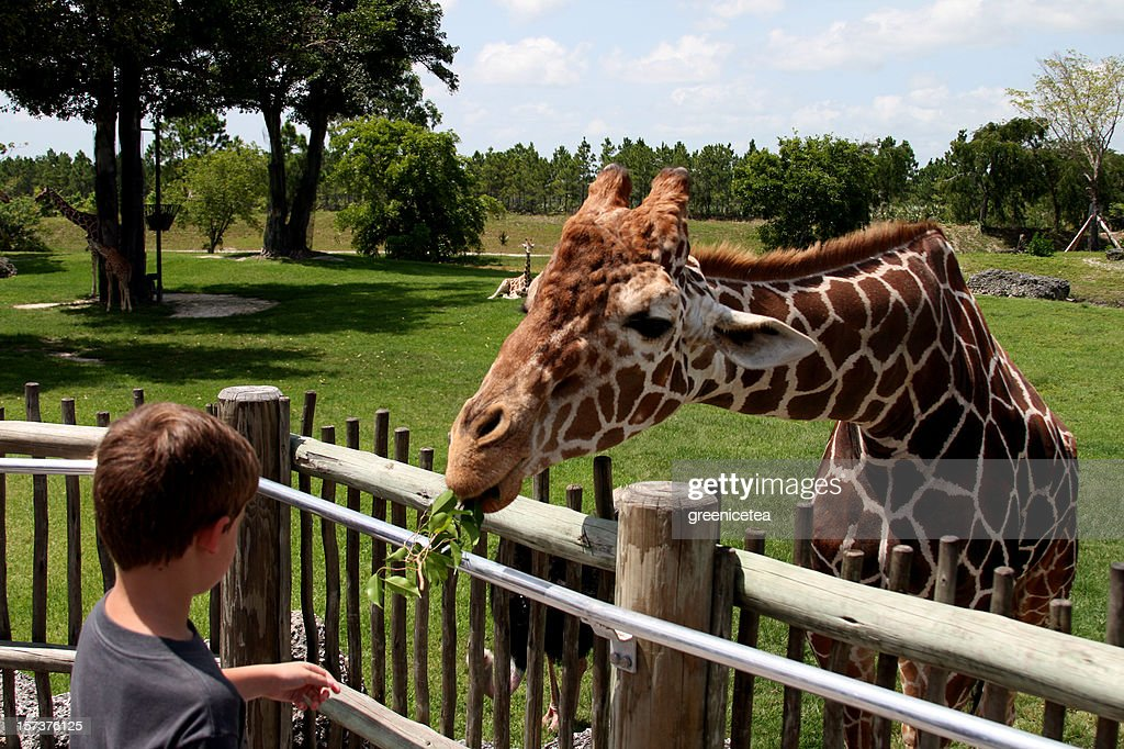 A young people feeding leaves to a giraffe in a zoo : Stock Photo