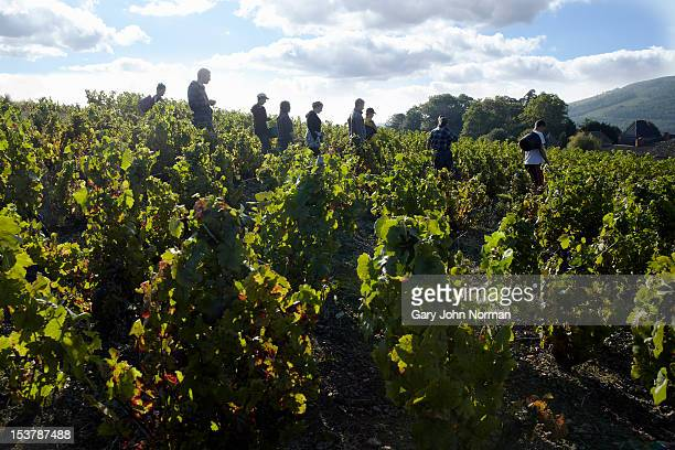 Young people harvesting grapes in France