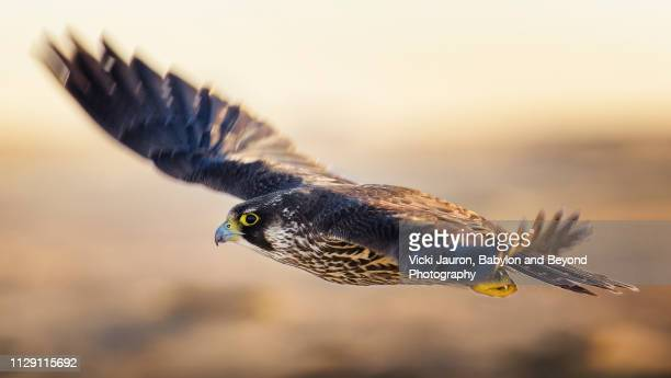 young peregrine falcon in flight with wings blurred - peregrine falcon stock pictures, royalty-free photos & images