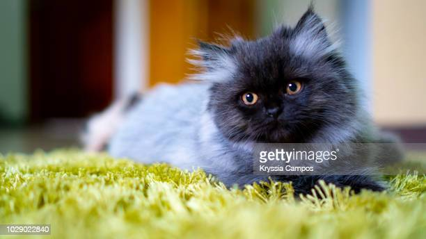 young persian cat, black - smoke color - persian cat stock pictures, royalty-free photos & images