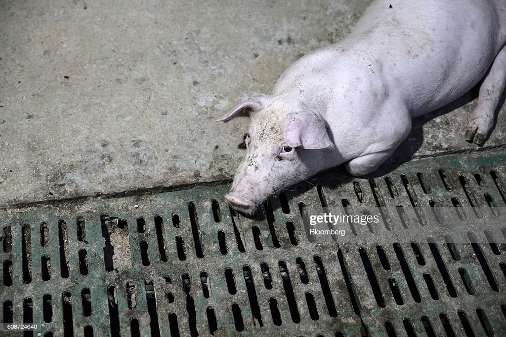 A young pig lies in a pen at the Jia Hua antibiotic-free pig farm in Tongxiang, China, on Thursday, Sept. 15, 2016. Hog farmer Shen Jian-Ping has spent 4.7 million yuan ($700,000) giving his swine roomier, better-ventilated digs and there are three full-time veterinarians to help keep the 465-sow herd healthy. Photographer: Qilai Shen/Bloomberg via Getty Images