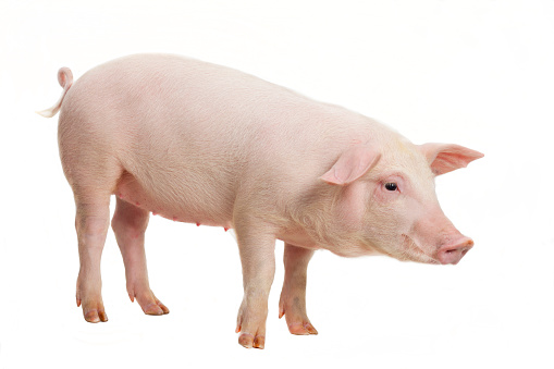 Young pig on white background 1139789449