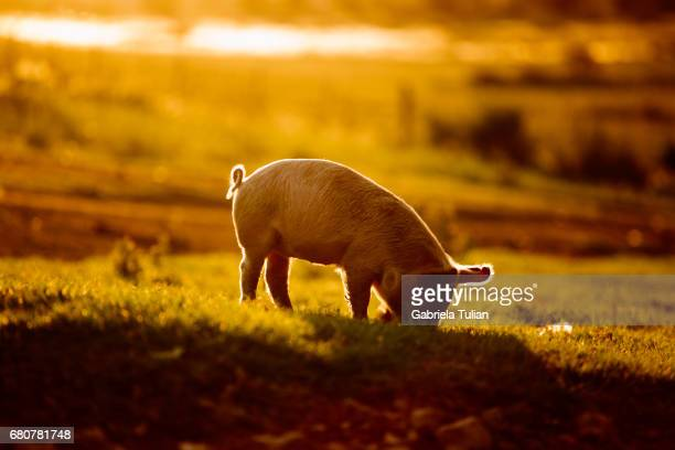 young pig walking - pig stock pictures, royalty-free photos & images