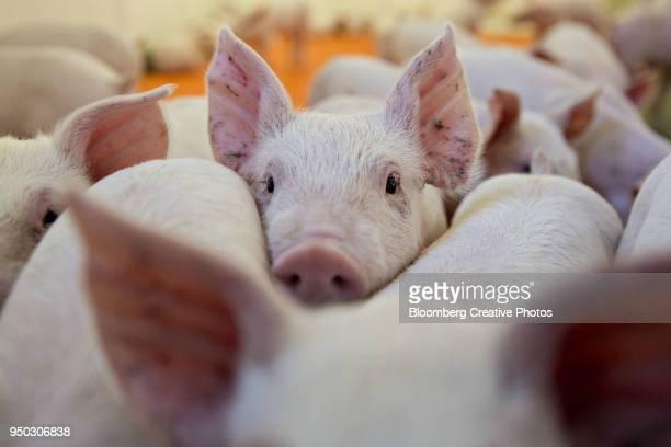 young pigs in a pen - schweinefleisch stock-fotos und bilder