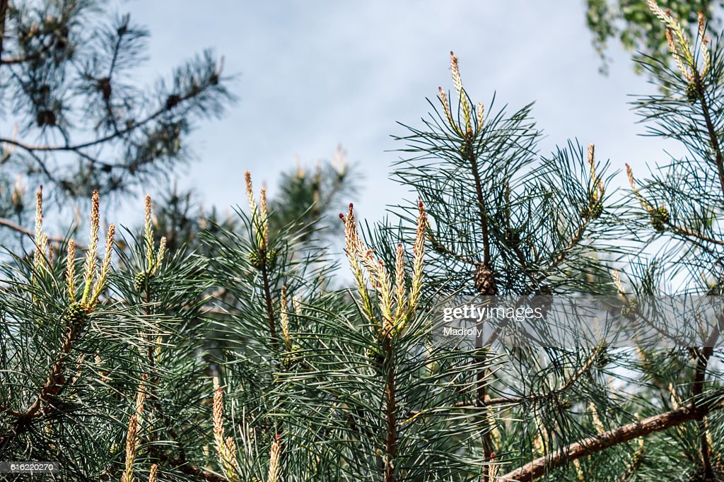 Young pinecones and needles : Photo
