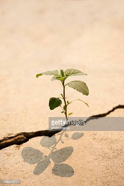 Young plant growing in a crack on a concrete footpath.