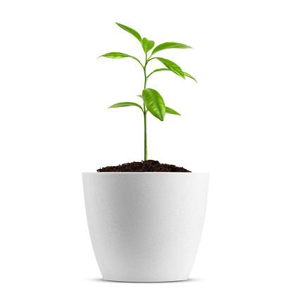 Young plant in pot isolated on the white background, clipping path, full depth of field 1073216794
