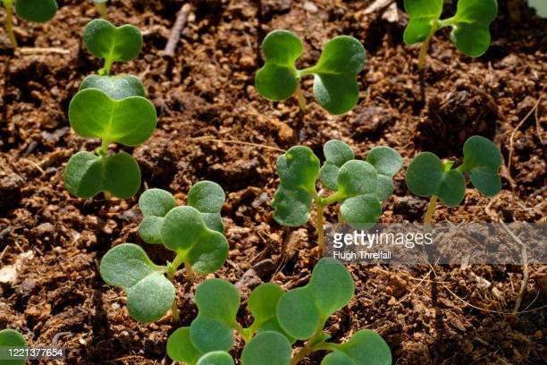 young plant seedlings - hugh threlfall stock pictures, royalty-free photos & images