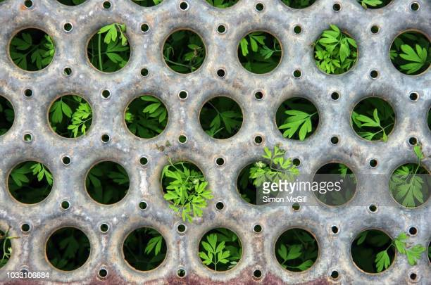 young plants sprout through the round holes in a metal grate - australian capital territory stockfoto's en -beelden