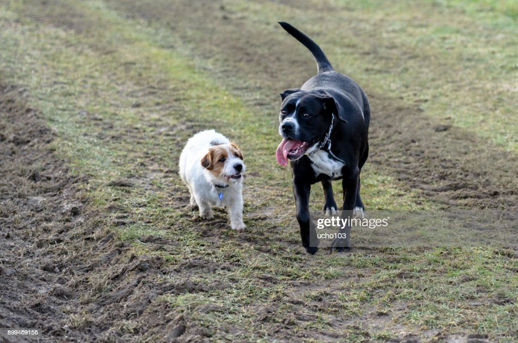 A young, playful dog Jack Russell terrier runs meadow in autumn with another big black dog. : Stock Photo