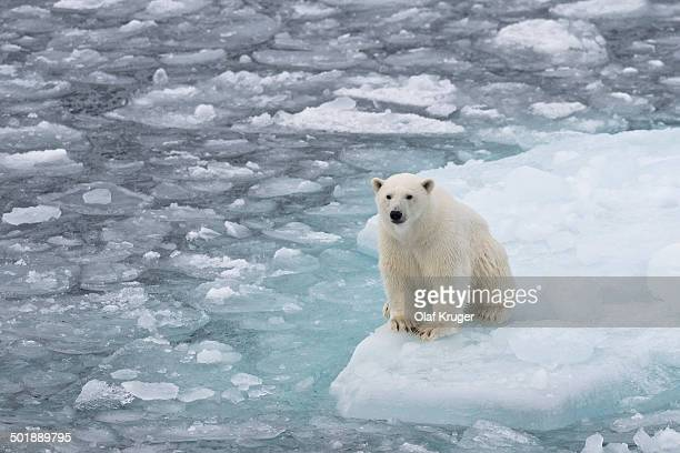 Young polar bear -Ursus maritimus- sitting on an ice floe in pack ice, Spitsbergen, Svalbard Islands, Svalbard and Jan Mayen, Norway