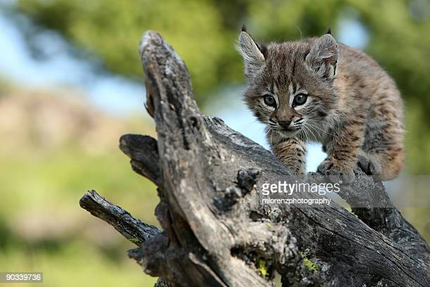 Young Predator
