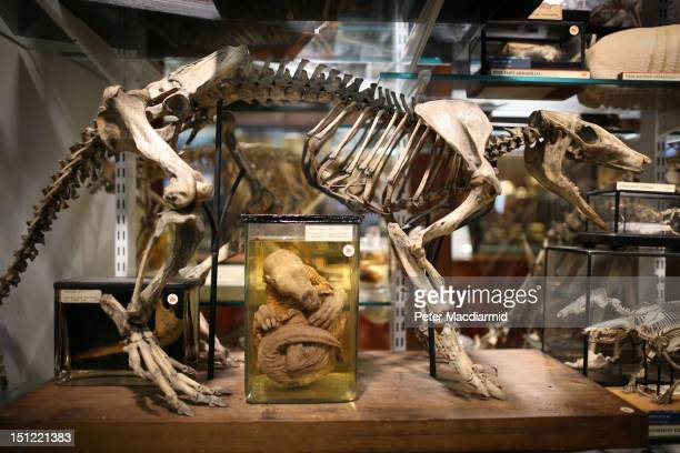 Young preserved aardvark is displayed under the skeleton of an adult at The Grant Museum of Zoology on September 4, 2012 in London, England....