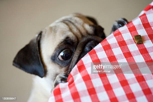 Young Pug dog trying to steal food from a table