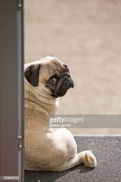 a young pug is sitting in a doorway, direct view over the shoulder - porträt bildbanksfoton och bilder