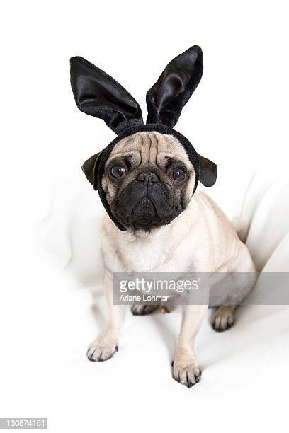Young pug with black bunny ears