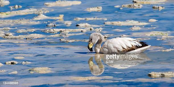 young puna or james's flamingo (phoenicoparrus jamesi), laguna hedionda, potosi, bolivia, south america - vista lateral foto e immagini stock