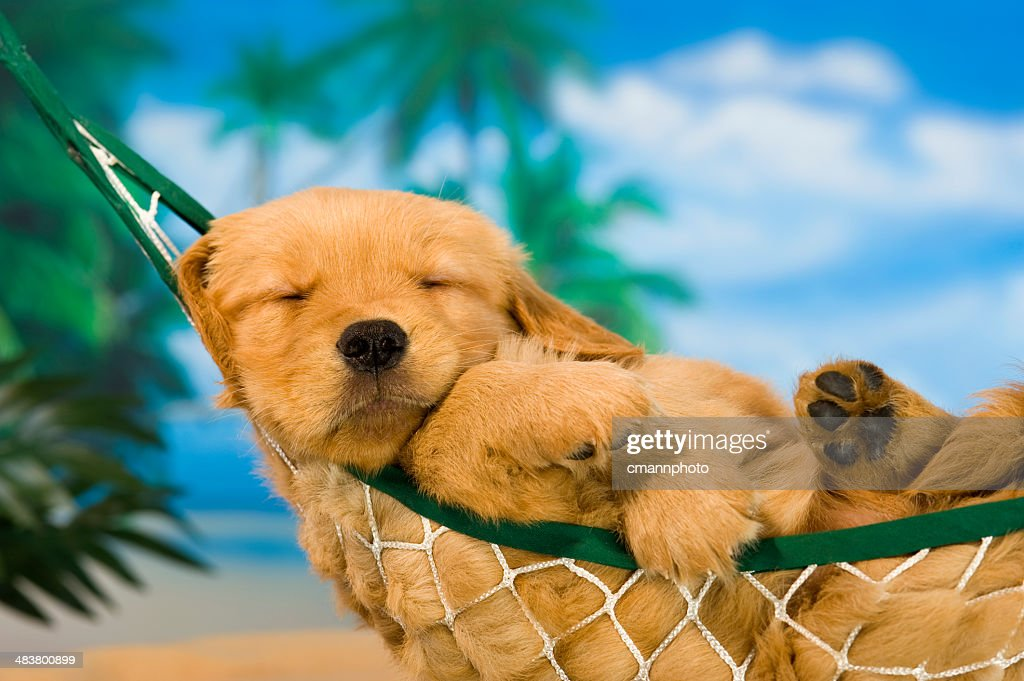 Young puppy in hammock with tropical background : Stock Photo