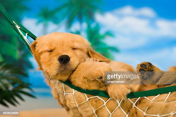 Young puppy in hammock with tropical background