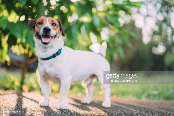 young puppy jack russell terrier - jack russell terrier stock pictures, royalty-free photos & images