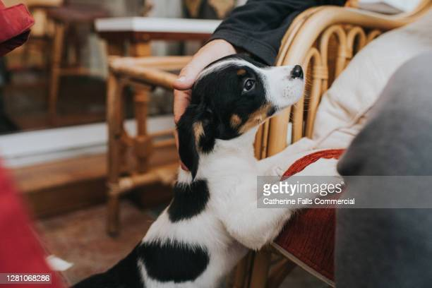 young puppy jumps up and puts his paws on furniture to seek attention - new stock pictures, royalty-free photos & images
