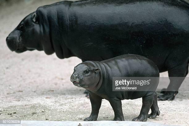 Young Pygmy Hippopotamus at the Miami Metrozoo