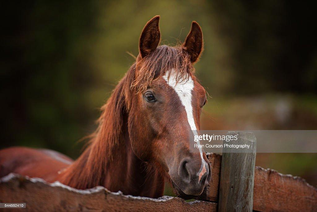 Young quarter horse portrait : Stock Photo