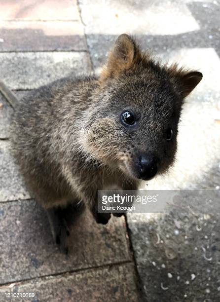 young quokka standing on back legs looking up at the camera - quokka photos et images de collection