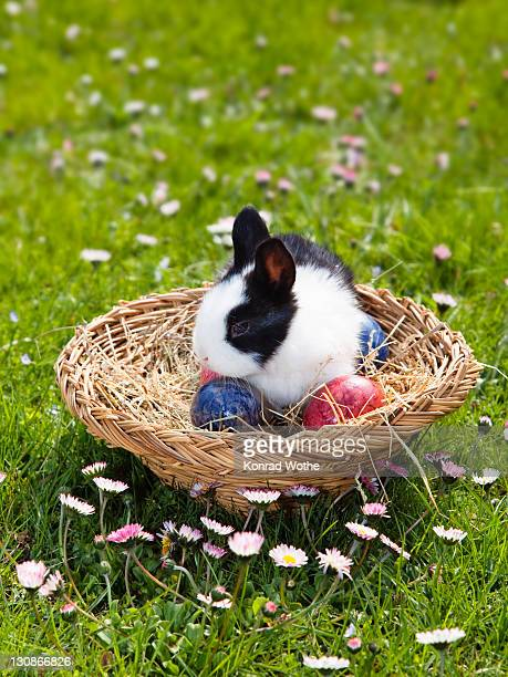 Young Rabbit (Oryctolagus cuniculus forma domestica) in an Easter basket on a flowery meadow