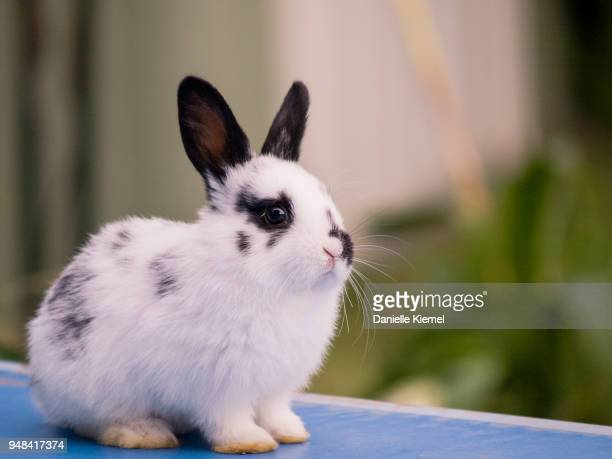 young rabbit sitting on table - domestic animals stock pictures, royalty-free photos & images